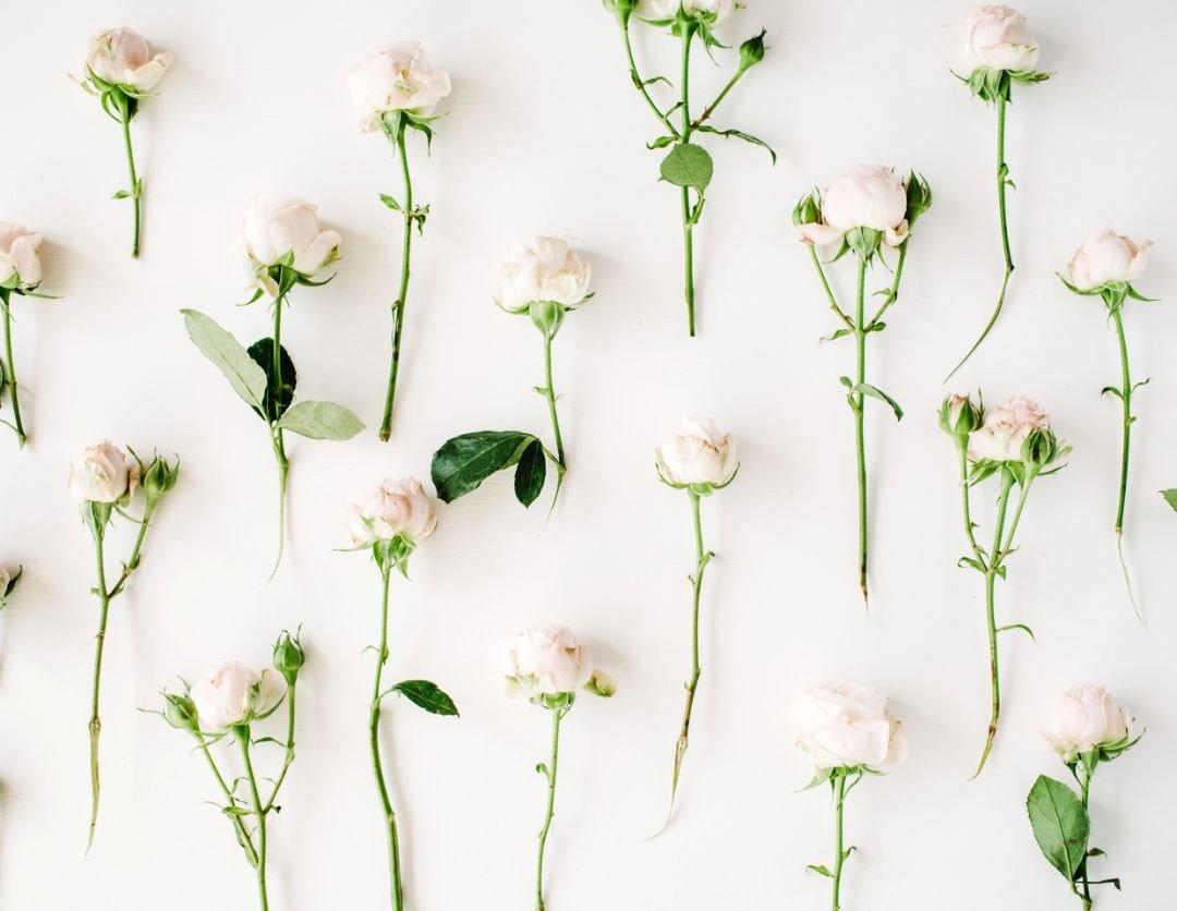 Scattered white roses